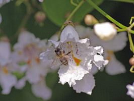 abeille sur Catalpa photo J.Grand en juillet, beegarden