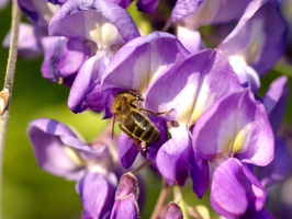 abeille sur Glycine photo J.Grand, beegarden