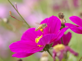 abeille sur Cosmos photo J.Grand octobre, beegarden